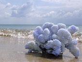 Коралл – морской цветок